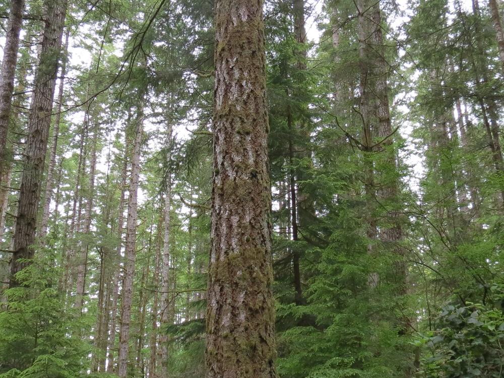Douglas Fir Trees, BC Coastal Region
