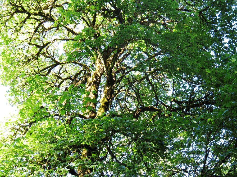 Douglas Maple Trees, BC Coastal Region