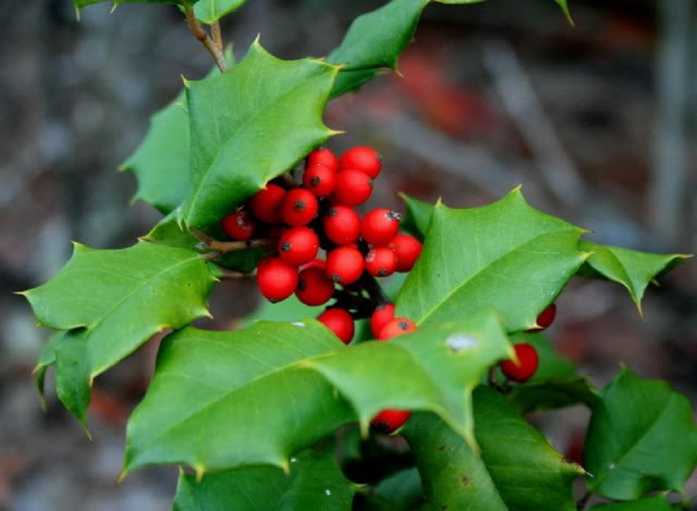 American Holly, Vancouver Island, BC