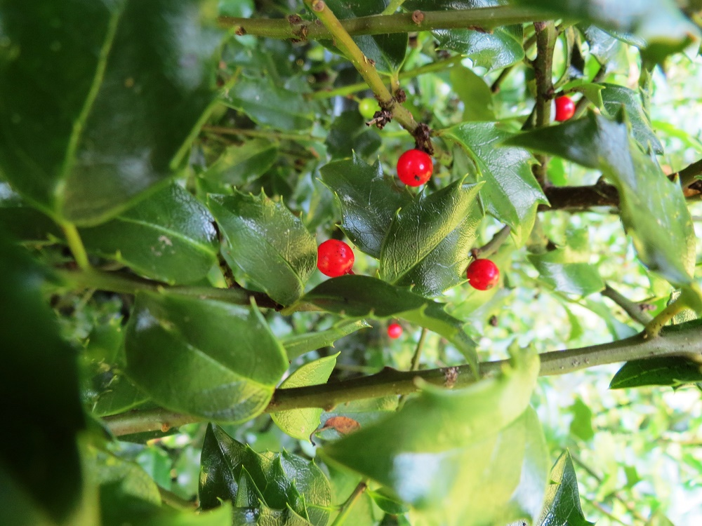 English Holly, Pacific Northwest