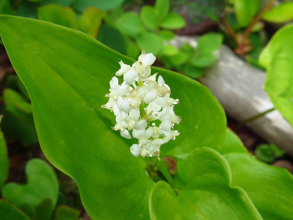 False Lily Of The Valley, Vancouver Island, BC