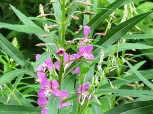 Fireweed, BC Coastal Region