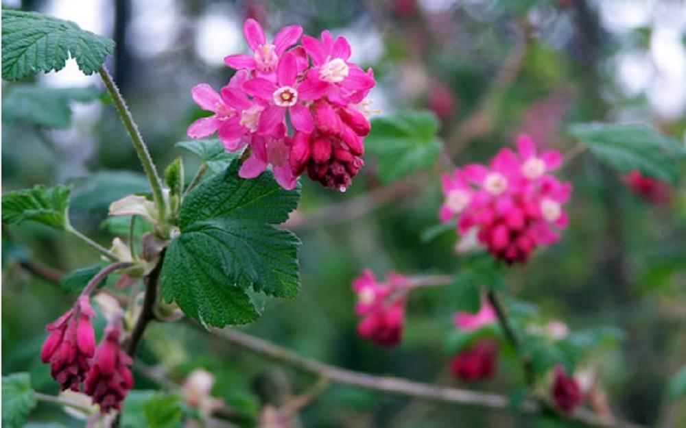 Flowering Red Currant, BC Coastal Region