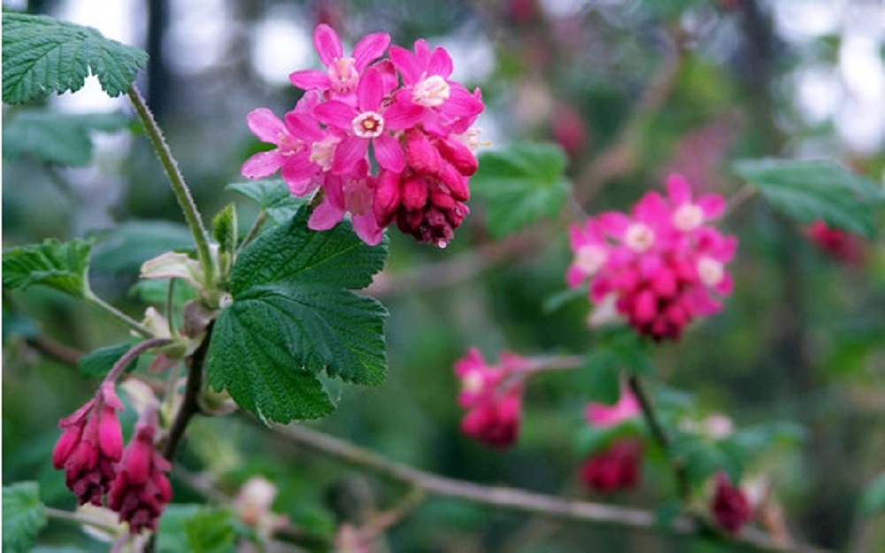 Flowering Red Currant, Vancouver Island, BC