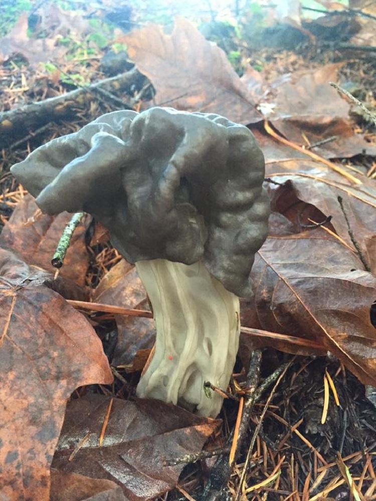 The Fluted Black Helvella Saddle Mushroom, Edible Mushrooms, Pacific Northwest