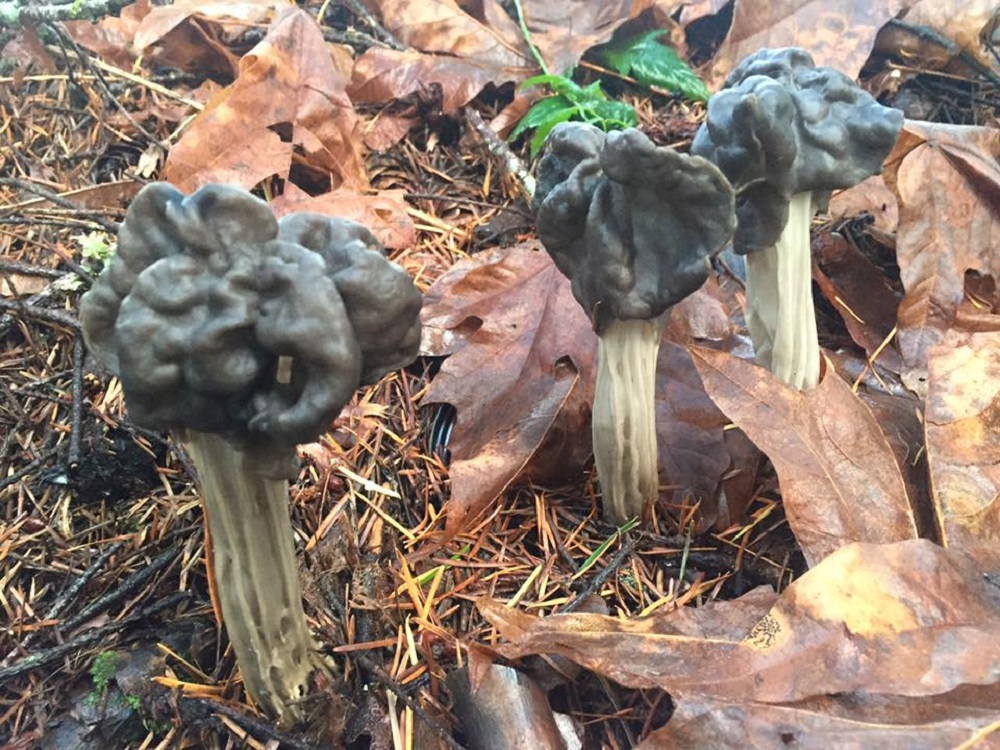 The Fluted Black Helvella Saddle Mushroom, Edible Mushrooms, Pacific Northwest