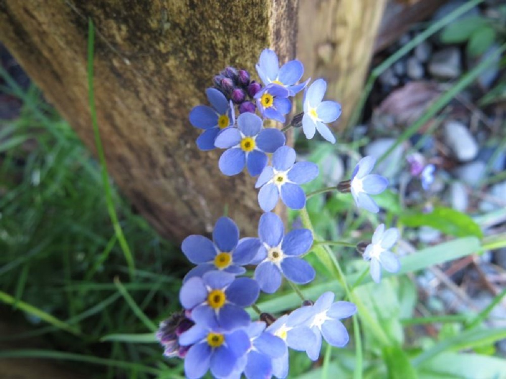 Forget Me Not, Wildflowers, Pacific Northwest