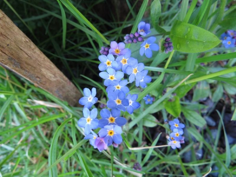 Forget Me Not, Vancouver Island, BC