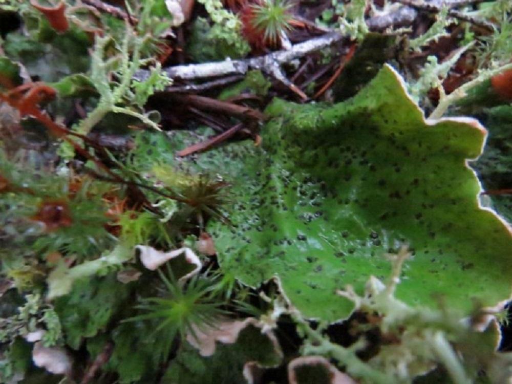 Freckle Pelt Lichen, Lichens, Pacific Northwest