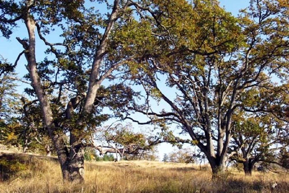Garry Oak Trees, Deciduous Trees, Trees, Pacific Northwest