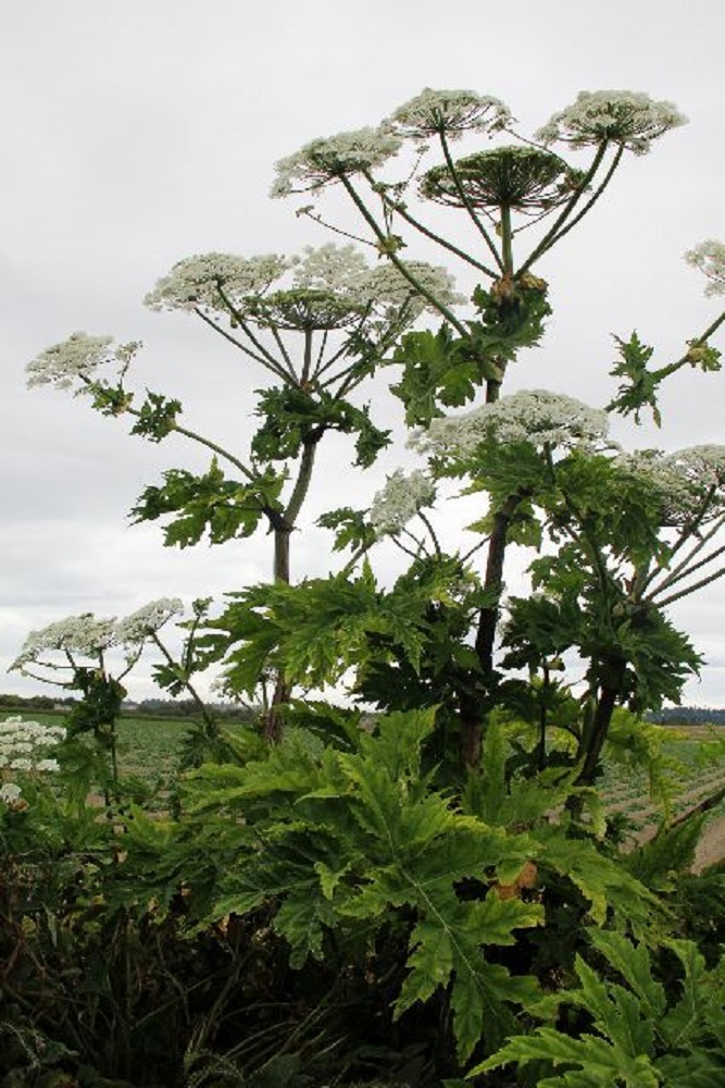 Giant Hogweed, Pacific Northwest