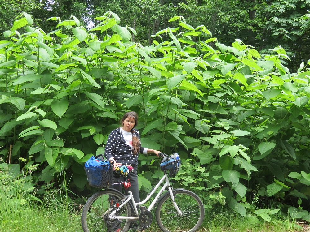 Giant Knotweed, Vancouver Island, BC