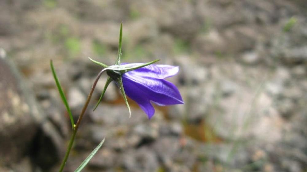 Harebell Flowers, Wildflowers, Pacific Northwest