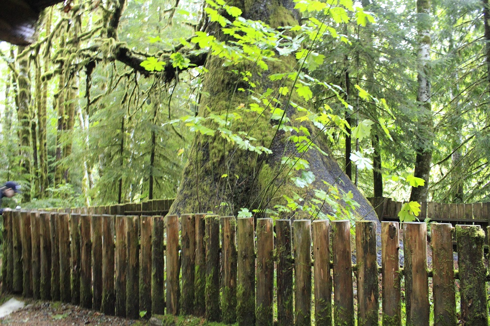 Harris Creek Spruce Tree, Vancouver Island, BC