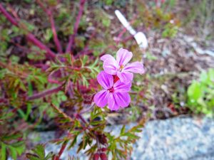Herb Robert, BC Coastal Region