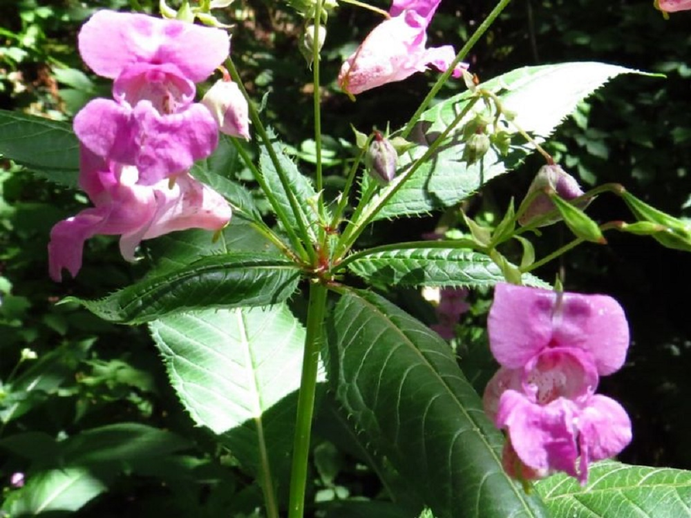 Himalayan Balsam, Pacific Northwest