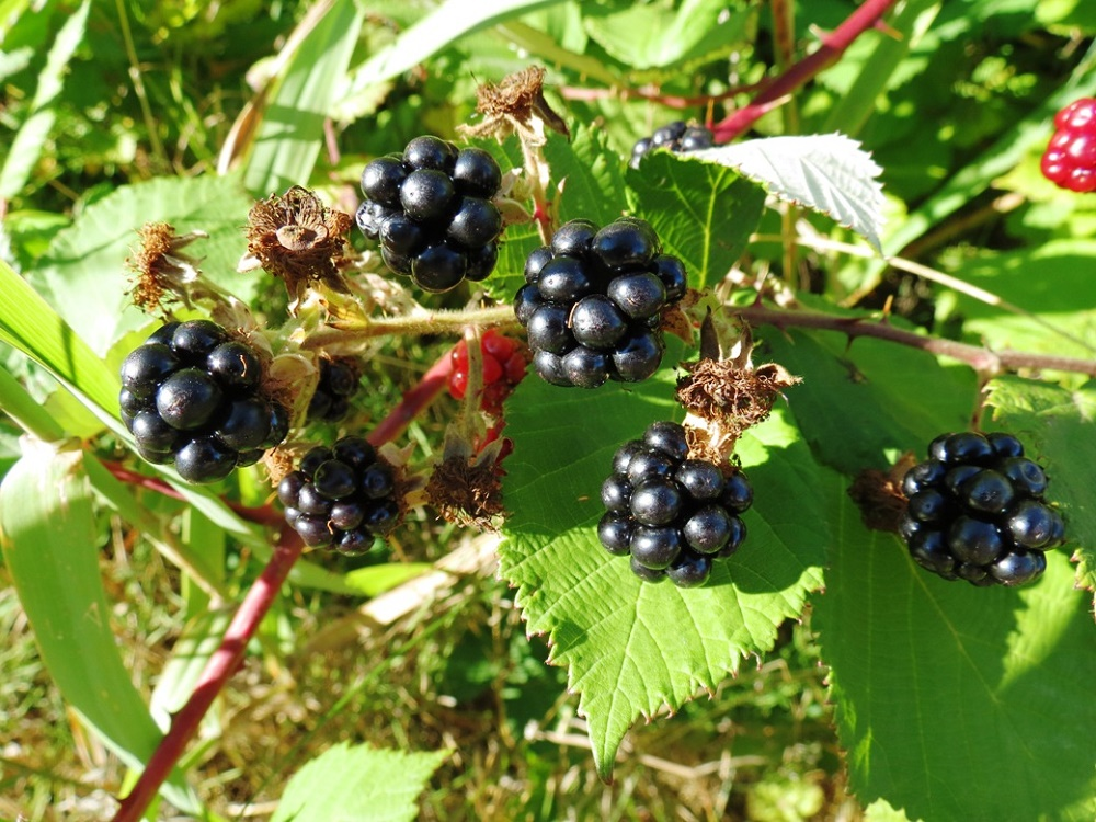 Himalayan Blackberries, BC Coastal Region