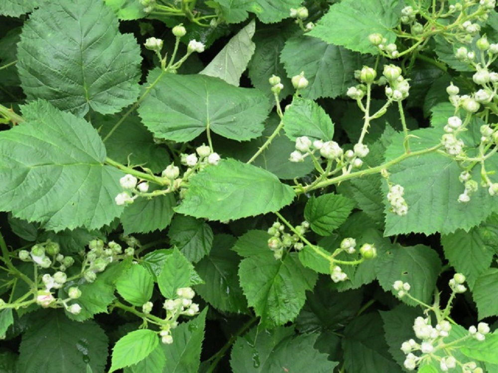 Himalayan Blackberries, BC Coastal Region