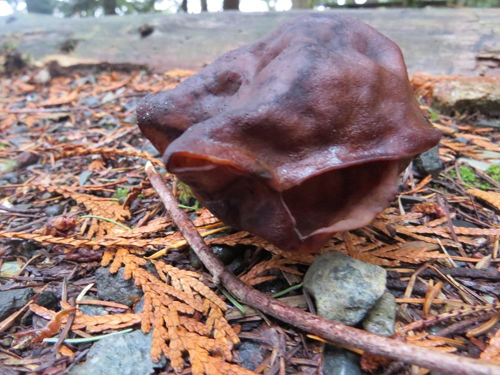 Hooded False Morel Mushroom, Vancouver Island, BC