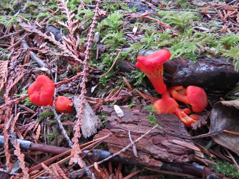 Hygrocybe Miniata Mushroom, Edible Mushrooms, Pacific Northwest