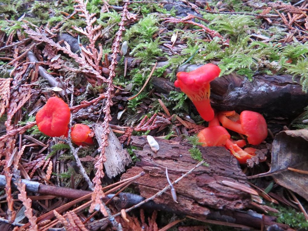 Hygrocybe Miniata Mushroom can be found on the coast of BC