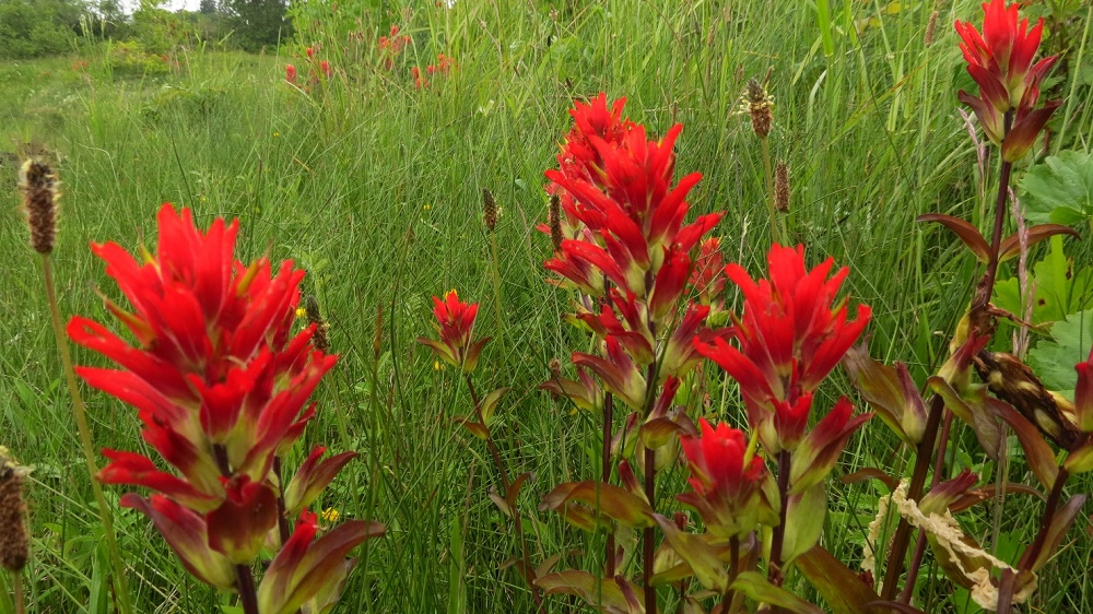 Indian Paintbrush, Vancouver Island, BC