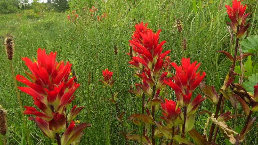 Indian Paint Brush, Wildflowers, Pacific Northwest