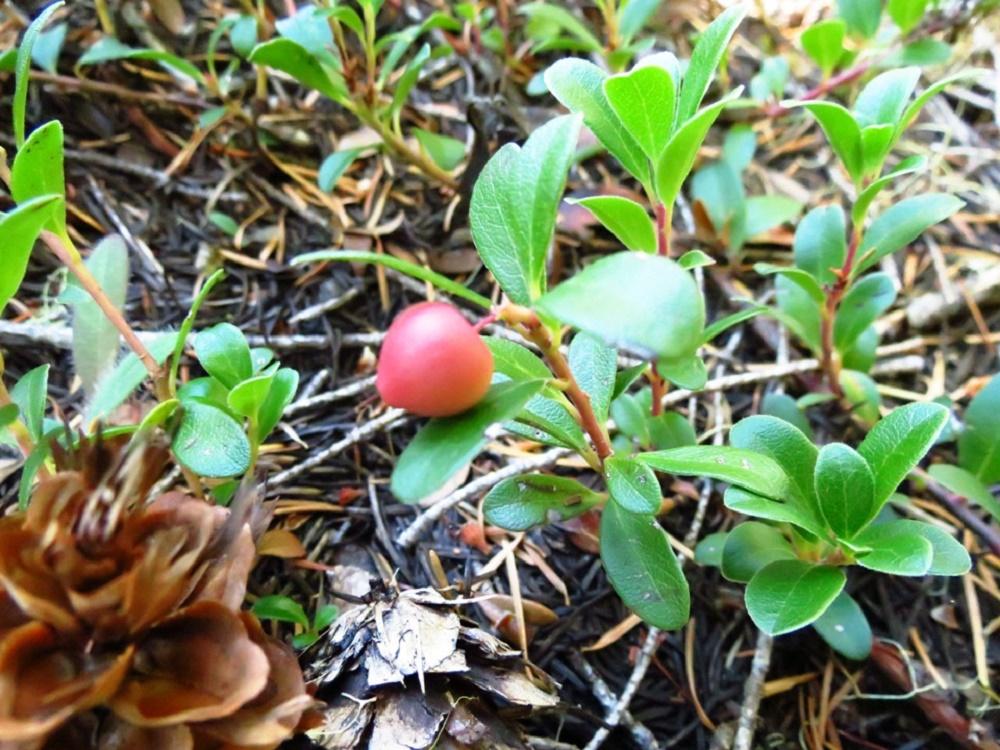 Kinnikinnick Plant, Wildflowers, Pacific Northwest