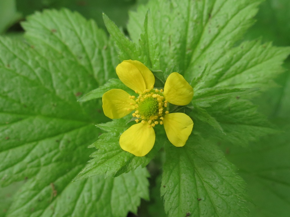 Large Leaved Avens, Vancouver Island, BC