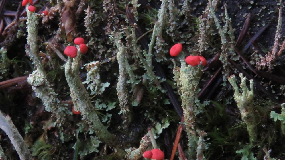 Lipstick Cladonia Lichen, Lichens, Pacific Northwest