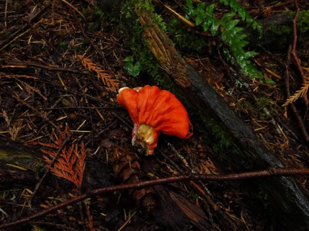 Lobster Mushroom, Edible Mushroom, Pacific Northwest