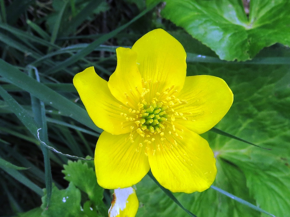 Marsh Marigold, Wildflowers, Pacific Northwest