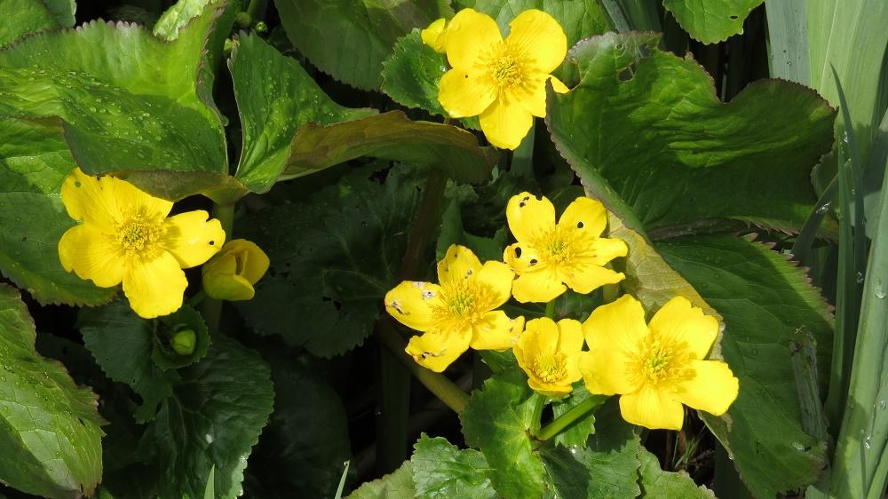 Marsh Marigold, Wildflowers, Pacific Northwest