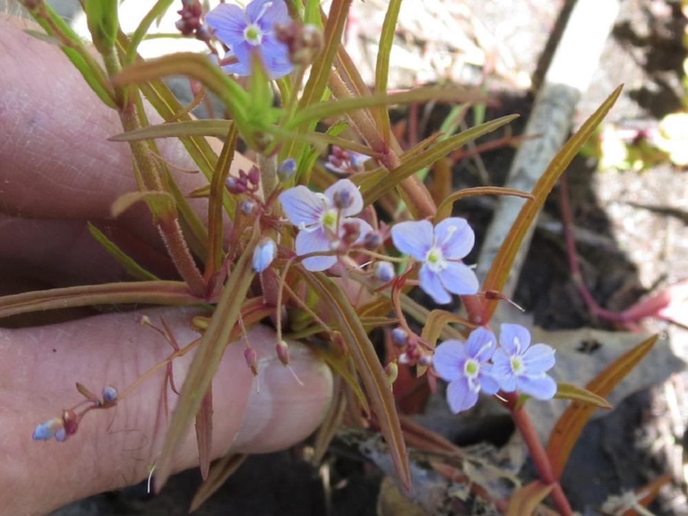 Marsh Speedwell, Wildflowers, Pacific Northwest