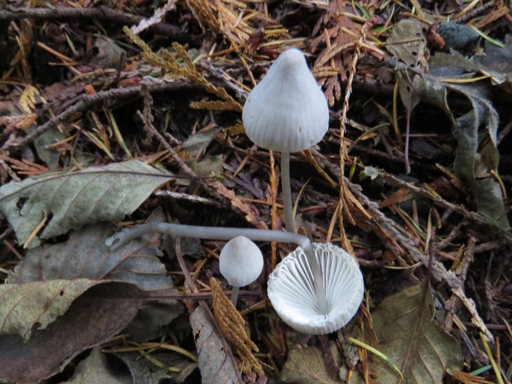 Mycena Filopes Mushroom, Non Edible Mushrooms, Pacific Northwest