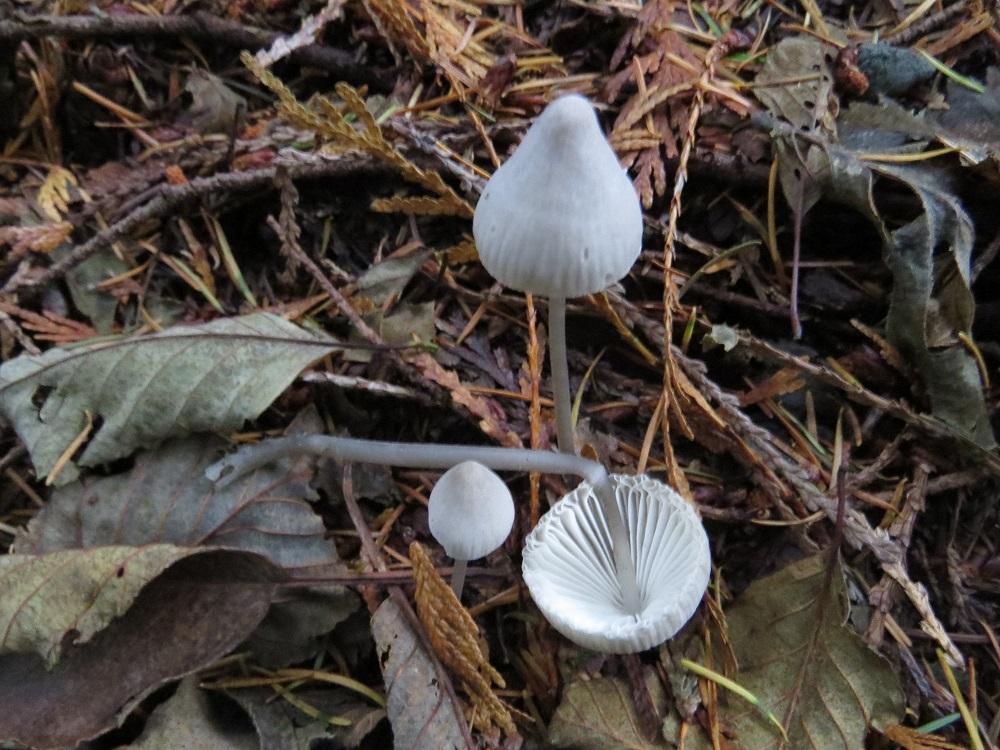 Mycena Filopes Mushroom, Non Edible Mushrooms, Pacific Northwest