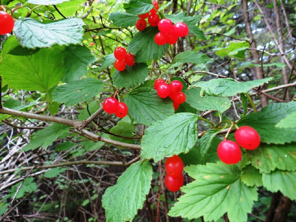 Northern Red Currant Bush, Wildflowers, Pacific Northwest
