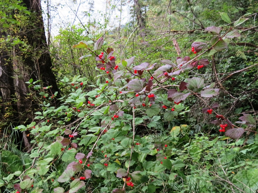 Northern Red Currant, BC Coastal Region