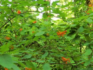 Orange Honeysuckle, BC Coastal Region