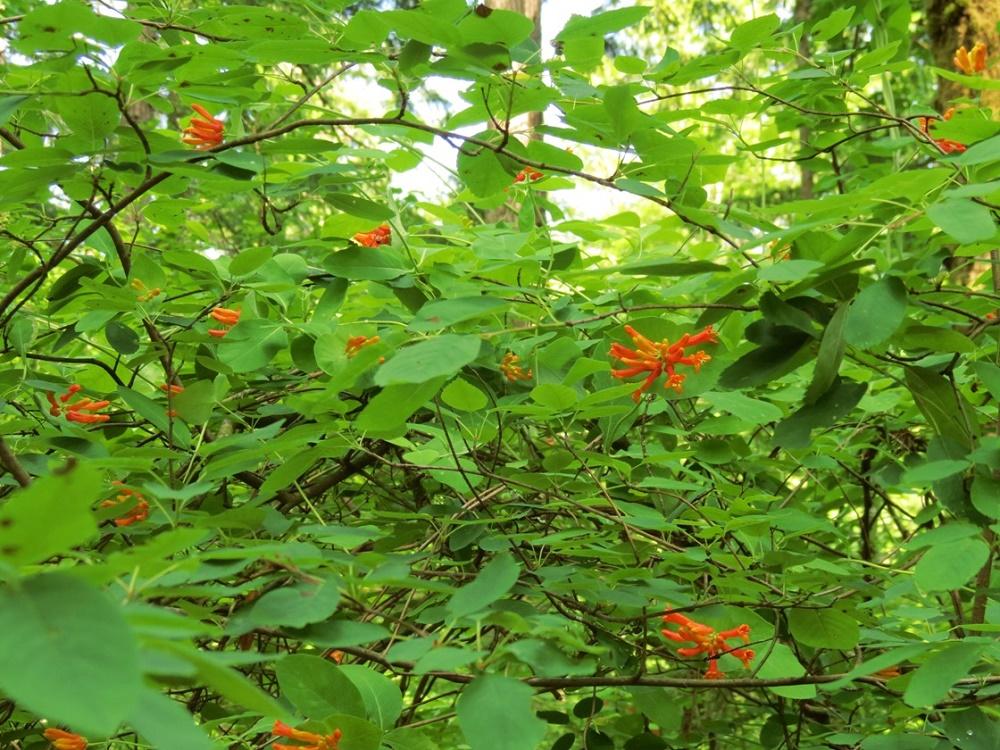 Orange Honeysuckle, Wildflowers, Pacific Northwest