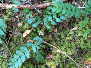 Oregon Grape, BC Coastal Region