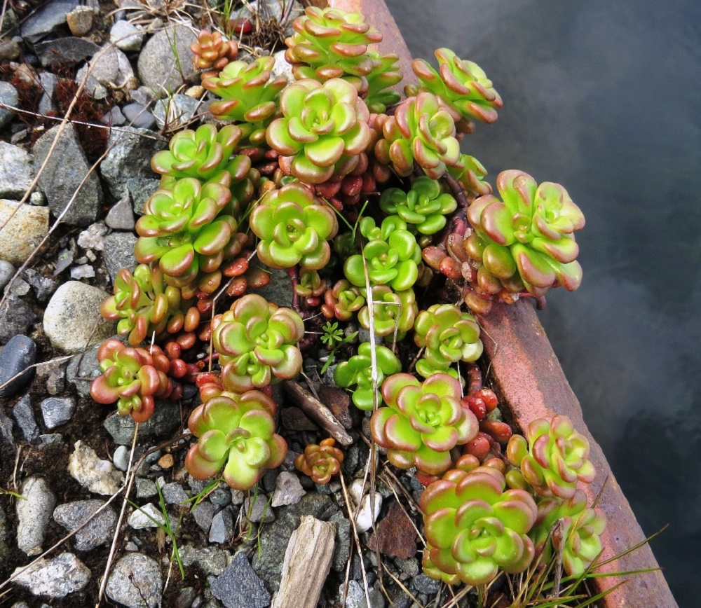 Oregon Stonecrop, BC Coastal Region