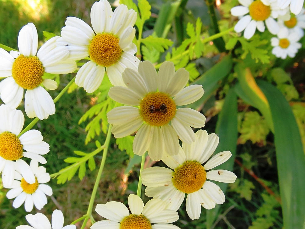 Ox Eye Daisy Plant, Wildflowers, Pacific Northwest