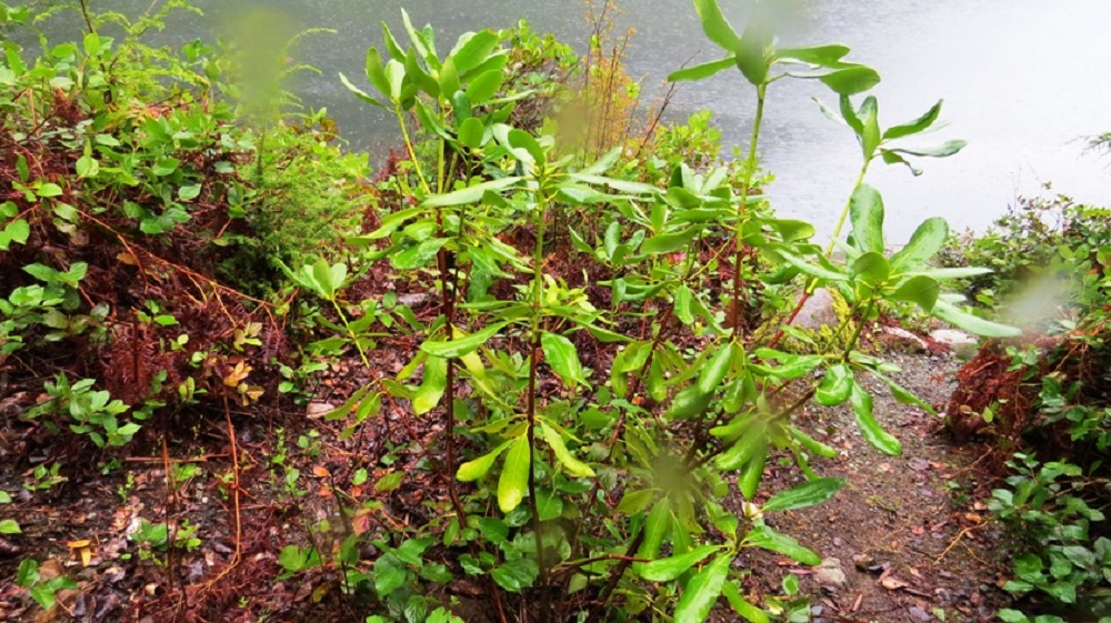 Pacific Rhododendron, Deciduous Trees, Trees, Pacific Northwest