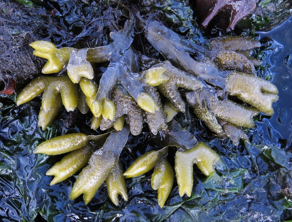 Pacific Rockweed, BC Coastal Region