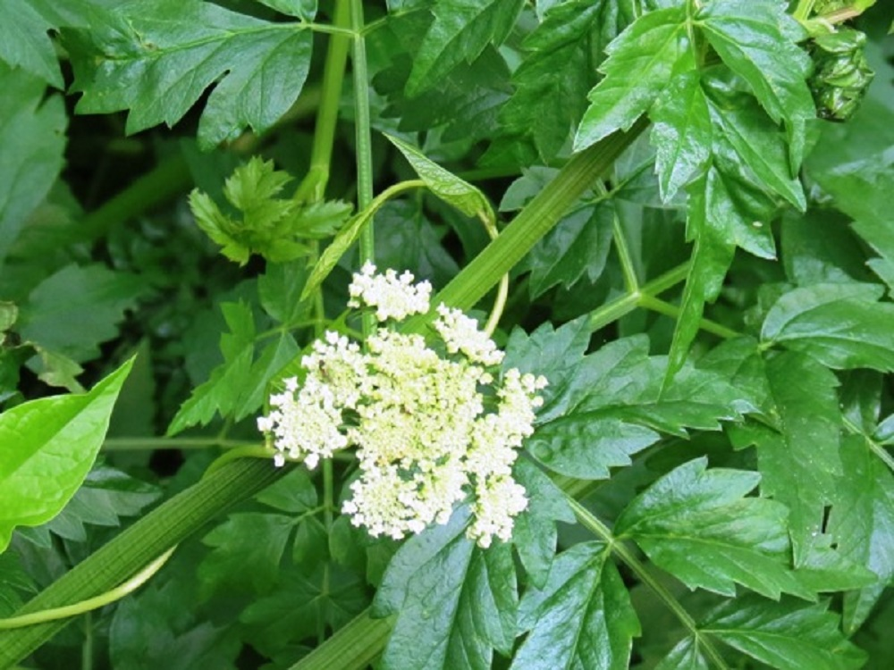 Pacific Water Parsley, Pacific Northwest