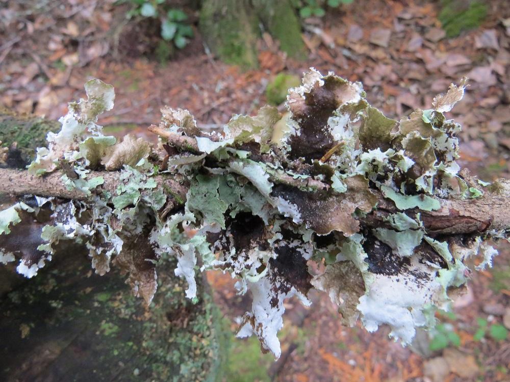 Parmotrema Perlatum Lichen, Lichens, Pacific Northwest