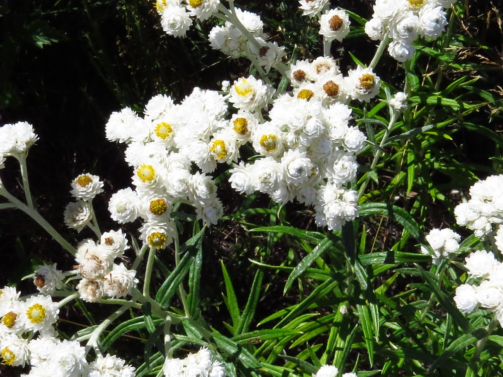 Pearly Everlasting, Wildflowers, Pacific Northwest