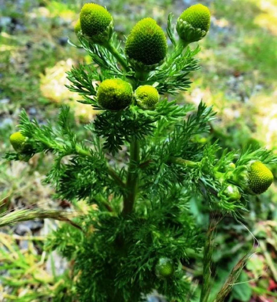 Pineapple Weed, BC Coastal Region