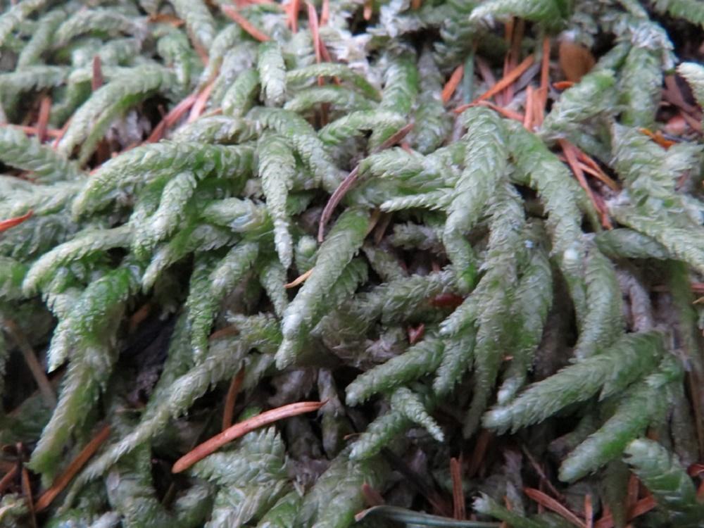 Plagiothecium Undulatum, Pacific Northwest